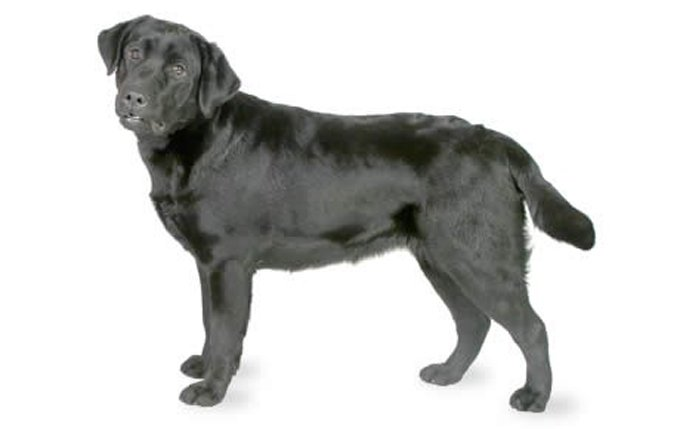 abrador-retriever
