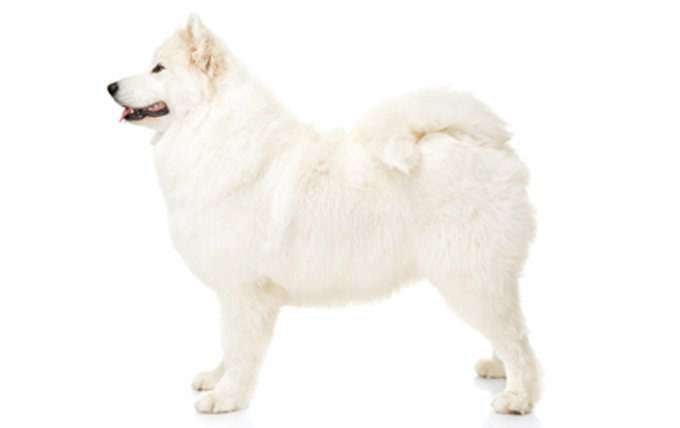 Samoyed-dog-breed