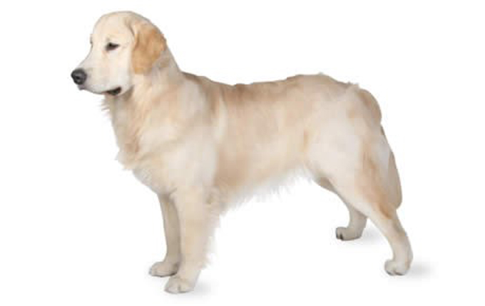golden-retriever-460x290
