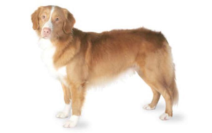 nova-scotia-duck-tolling-retriever-460x290