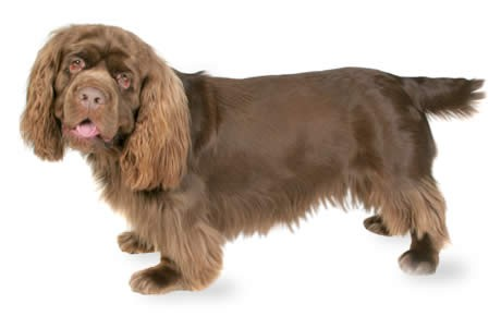 Sussex Spaniel Apartment 10 Dog Breeds Who Droo...