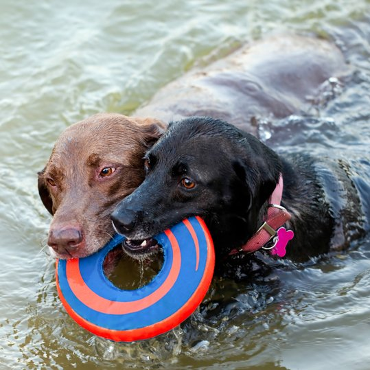 Top 10 dogs that love the water - Dogtime American Water Spaniel Dogtime