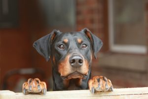 Doberman Pinscher Dog Names
