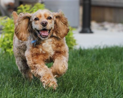 Cocker Spaniel Dog Names
