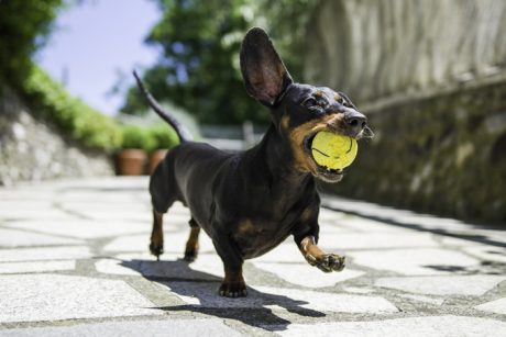 Dachshund Dog Names