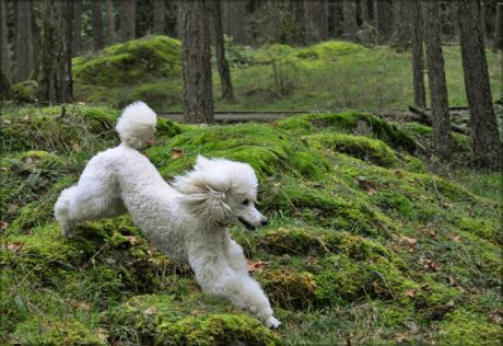Is A Poodle Right For You? Get The Scoop