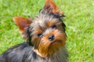 Best Yorkshire Terrier Dog Names
