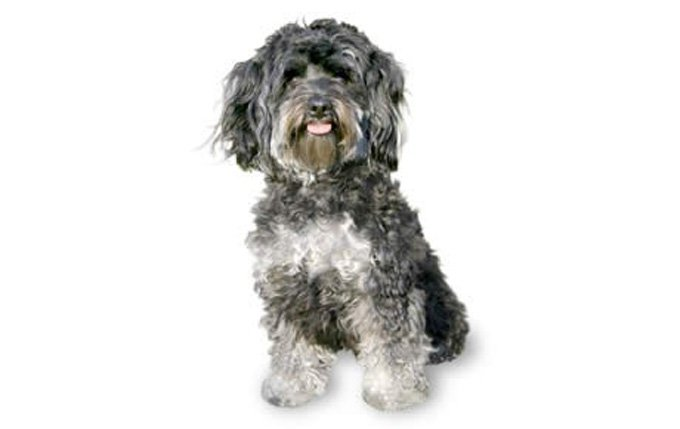 11-small-dogs-maltipoo