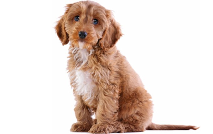 6-small-dogs-cockapoo