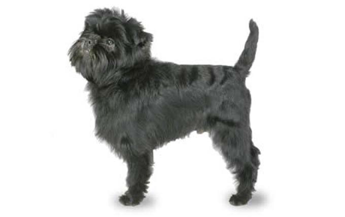 Small-dogs-affenpinscher
