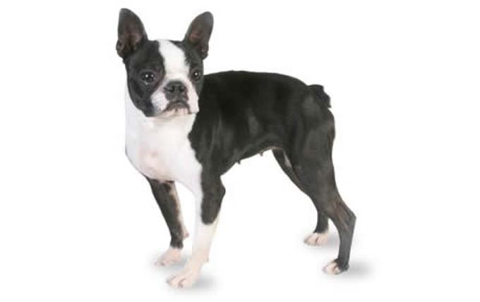 boston-terrier