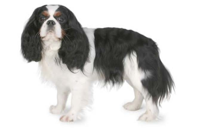 4 6 Year Male Cavalier King Charles Spaniel: Small Dogs Who Are Kid Friendly
