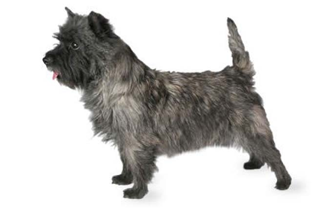 high-energy-small-dog-cairn-terrier