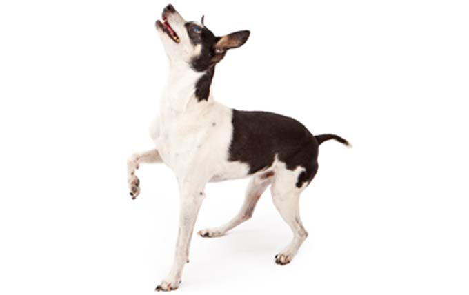 rat-terrier-dog