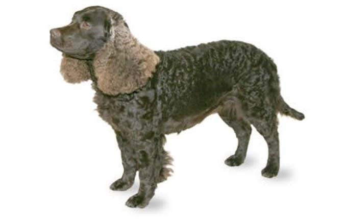 Kid Friendly Dogs Who Need A Lot Of Exercise - Dogtime American Water Spaniel Dogtime