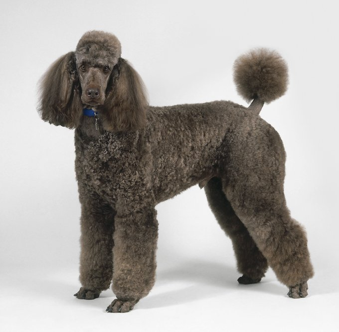 Standard Poodle, side view