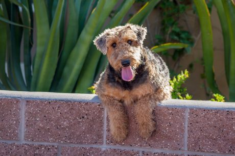 Airedale Terrier Dog Names