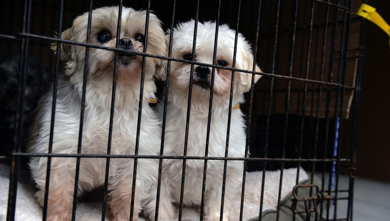 TORONTO, ON - FEBRUARY 2: 2 shih tzu s huddle up in their cage in the back of the truck as they arrive at HS on February 2nd 2013,they were rescued from a puppy mill....Twenty puppies,including two who were found abandoned in a snowbank last night arrived in Toronto Humane Society on River st today from Montreal where they are being saved from euthanization after a humane society supplier offered to pay the $800 bill to transport them...the puppies were put in their cages and given those who didnt have them were given their shots to prepare them for adoption to a good and loving home.....COLIN MCCONNELL TORONTO STAR) (Colin McConnell/Toronto Star via Getty Images)