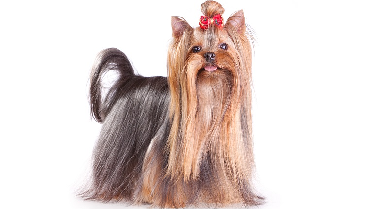 A Yorkshire Terrier with long hair and a bow on its head stands in front of a white background.