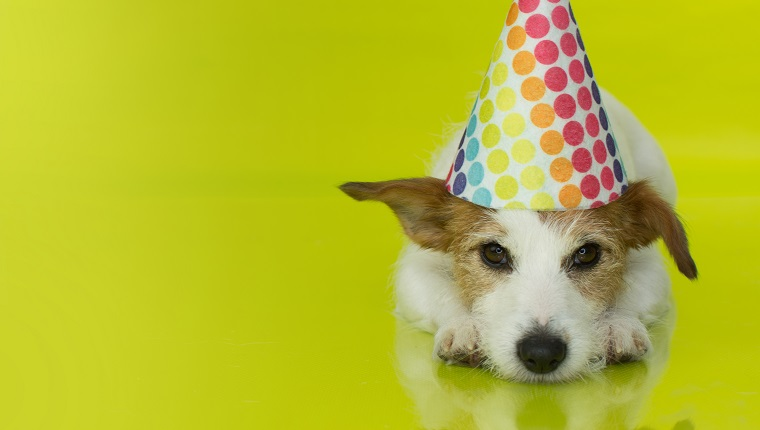 CUTE JACK RUSSELL DOG WEARING A COLORFUL PARTY HAT ISOLATED ON YELLOW BACKGROUND. BANNER SPACE FOR TEXT