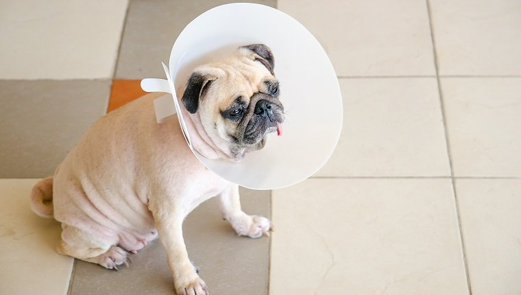 Pug dog while wearing Elizabethan collar neck in the shape of a cone for protection its to scratch eyes