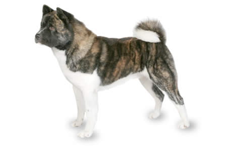 Akita Dog Breed Information, Pictures, Characteristics & Facts ...