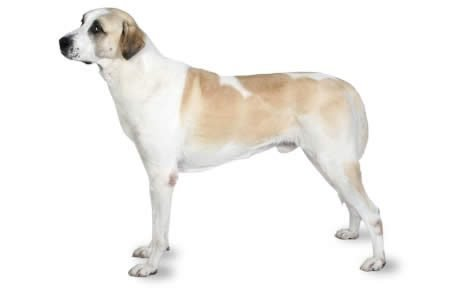 Anatolian Shepherd Dog Breed Information, Pictures