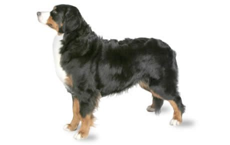 Bernese Mountain Dog Breed Information Pictures