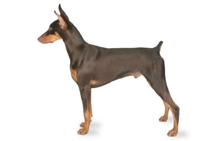 Doberman Pinscher Dog Breed Information Pictures Characteristics Amp Facts Dogtime