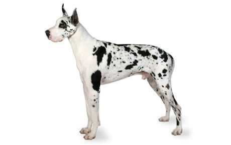 Image result for Great Dane