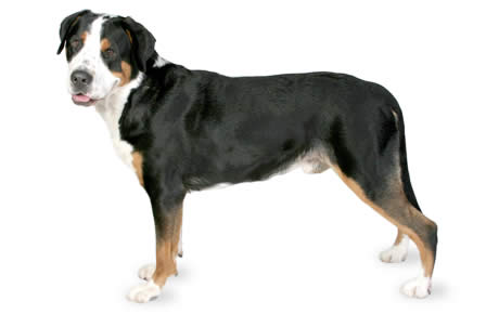 Greater Swiss Mountain Dog Border Collie Mix