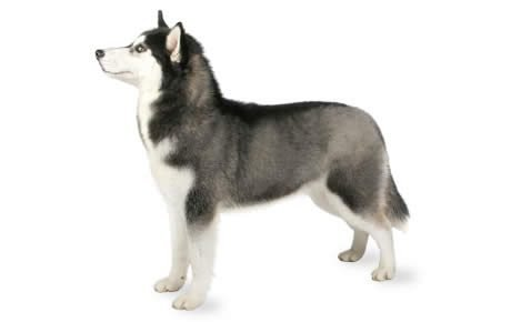 Siberian Husky Dog Breed Information Pictures Characteristics Amp Facts Dogtime