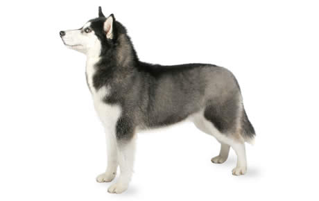 Siberian Husky Dog Breed Information, Pictures, Characteristics ...