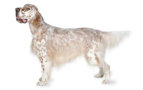 English Setter Dog Breed Information, Pictures ...