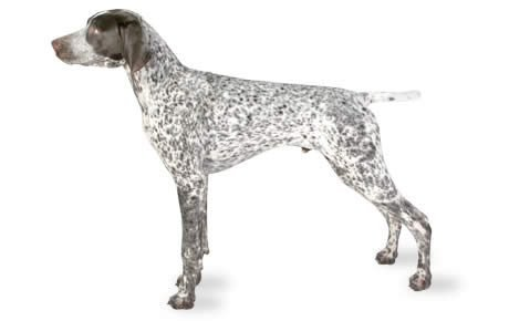 German Shorthaired Pointer Dog Breed Information, Pictures