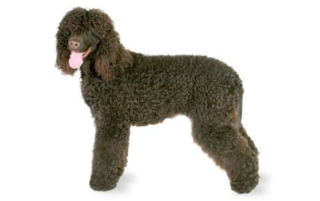 Irish Water Spaniel Dog Breed Information, Pictures