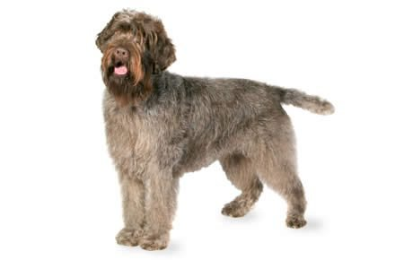 Wirehaired Pointer Griffon Dog Breed Information Pictures