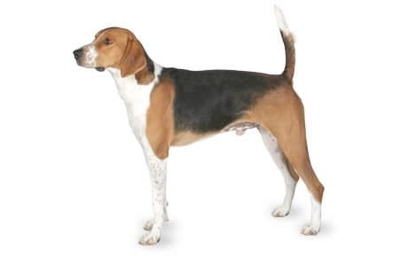 American Foxhound Dog Breed Information, Pictures, Characteristics ...