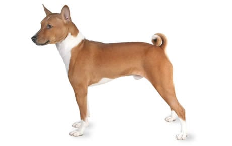 Lovely The Basenji Is A Great Option When You Have Close Neighbors And Thin Walls.  This Barkless Dog Rarely Gets Taller Than 18 Inches Or Over 25 Pounds.