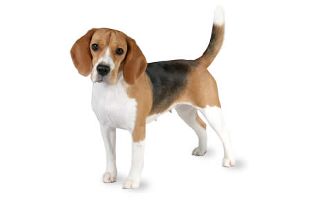 Beagle Dog Breed Information Pictures Characteristics Facts