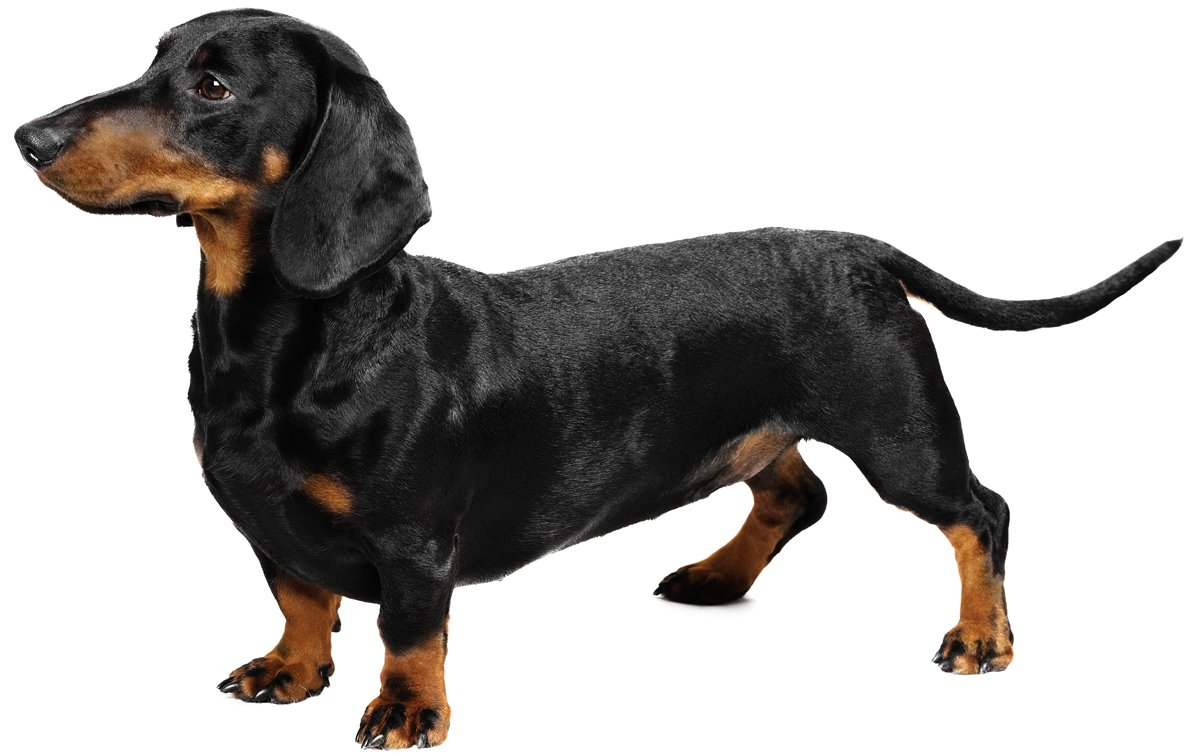 Dachshund Dog Breed Information, Pictures, Characteristics ...