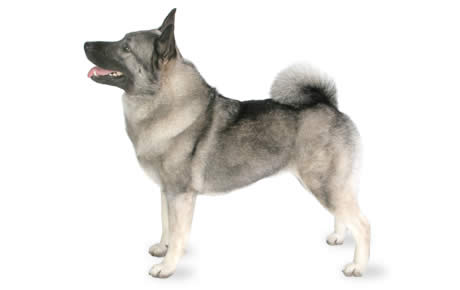 Norwegian Elkhound Dog Breed Information Pictures
