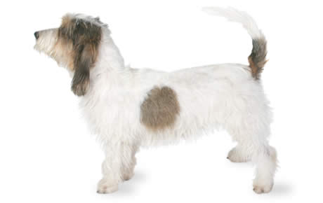 Petit basset griffon vendeen dog breed information pictures characteristics facts dogtime - Petit basset hound angers ...