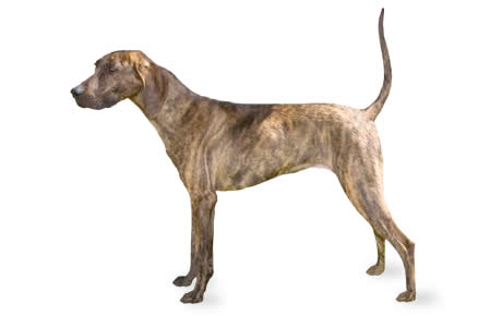 Plott Dog Breed Information, Pictures, Characteristics & Facts ...