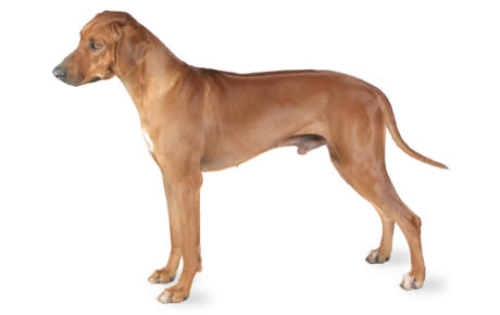 Rhodesian Ridgeback Dog Breed Information Pictures