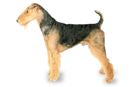 Airedale Terrier Dog Breed Information Pictures