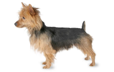 Australian Terrier Dog Breed Information Pictures Characteristics