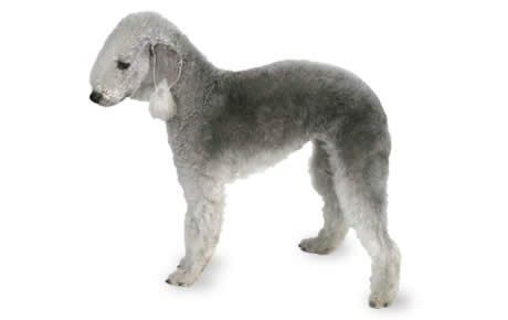 Dog Breeds That Dont Shed And Good Natured