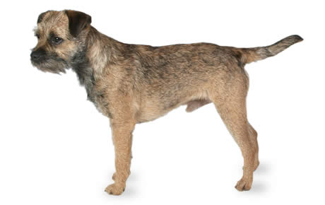 Border Terrier Dog Breed Information, Pictures, Characteristics ...