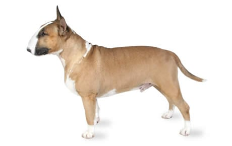 Bull Terrier Dog Breed Information, Pictures, Characteristics & Facts ...